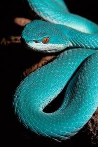 vipère bleue de komodo