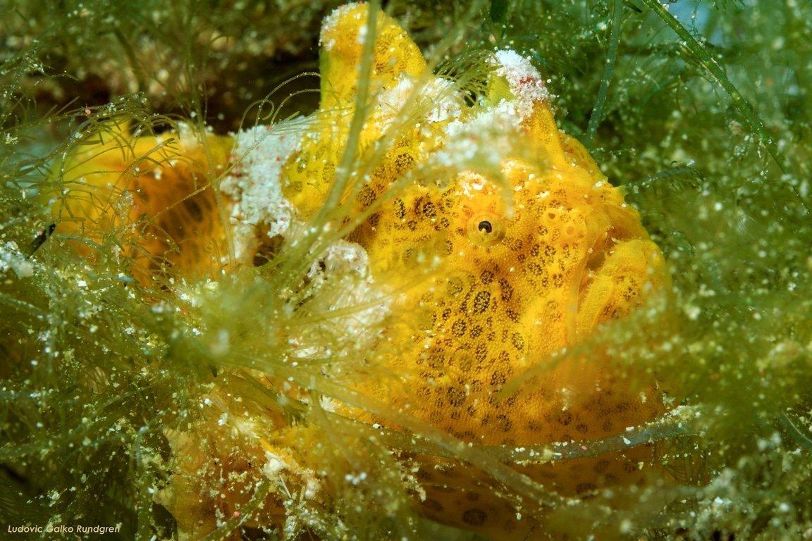 dragondive poisson grenouille komodo